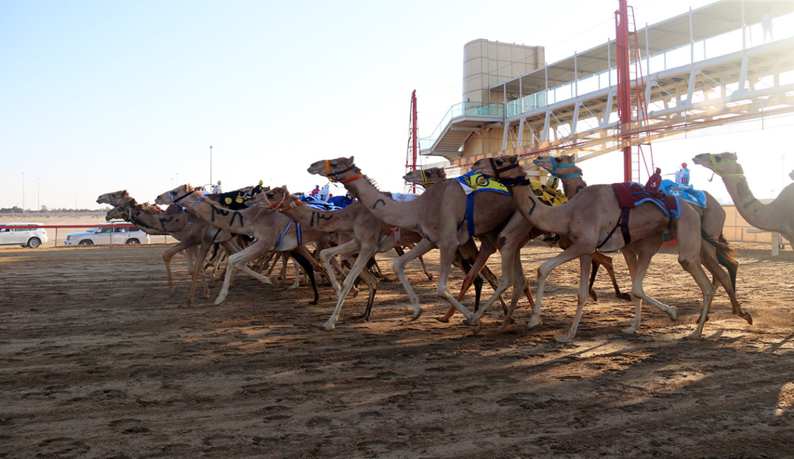 Camels racing at Al Marmoum Camel Racetrack Dubai